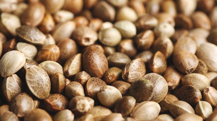 Σπόροι Κάνναβης – 10 Facts Που Θα Σε Εντυπωσιάσουν