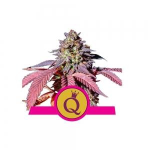 Purple Queen 1/3 Seeds Fem – RQS