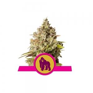 Royal Gorilla 1/3 Seeds Fem – RQS